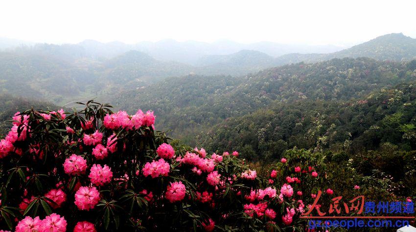 贵州百里杜鹃风景名胜区旅游局展示