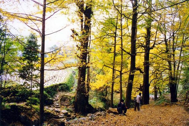 世界上最大的古银杏林在贵州