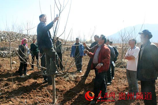 苹果树修剪技术视频_核桃树的修剪和管理_苹果树图片
