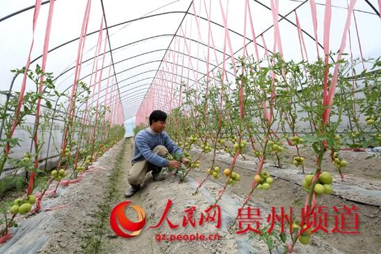 北方大棚种植榴莲