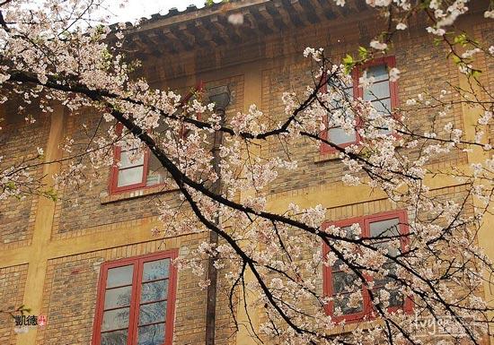 樱花/武大樱花最初由周恩来总理1972年转赠。