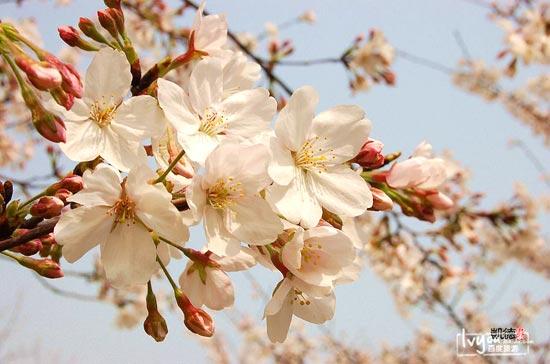 贵州 樱花/武大樱花最初由周恩来总理1972年转赠。