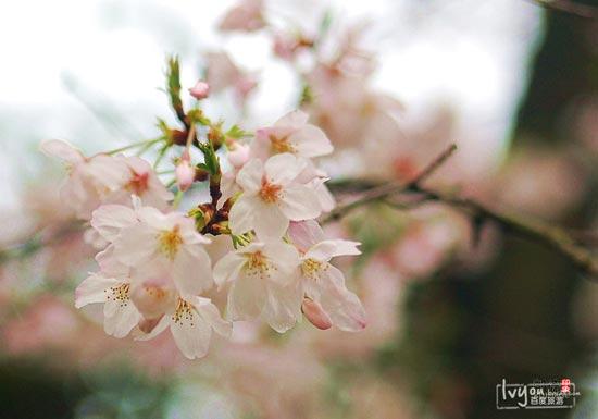 樱花 武汉/武大樱花最初由周恩来总理1972年转赠。