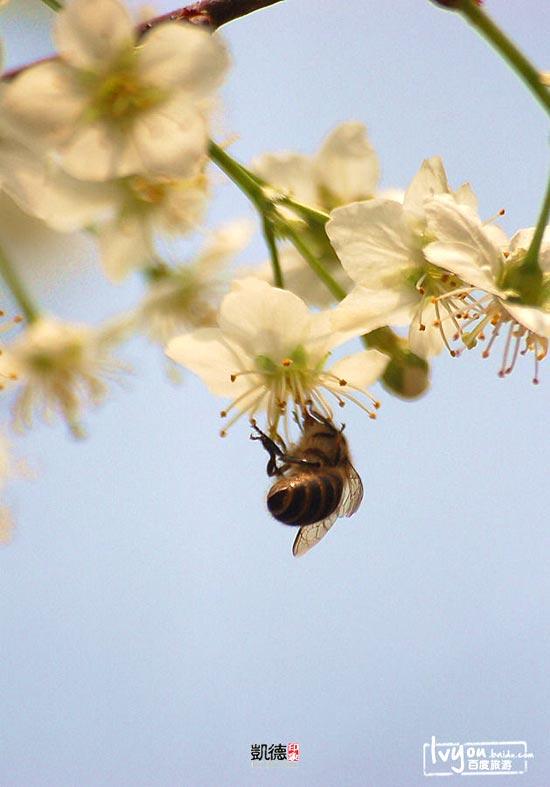 武汉/武大樱花最初由周恩来总理1972年转赠。