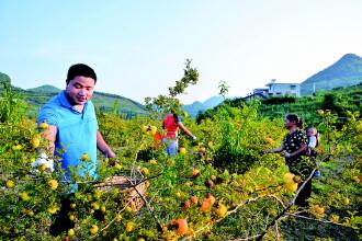 龙里高中所有为金灿灿的刺梨的产业贵港市成长图片