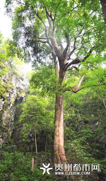 据剑河县林业工作人员介绍,这株楠木属金丝楠木,整棵树生长于悬崖