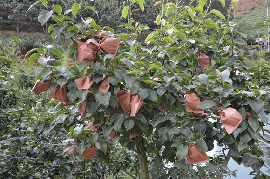 梨大树果实