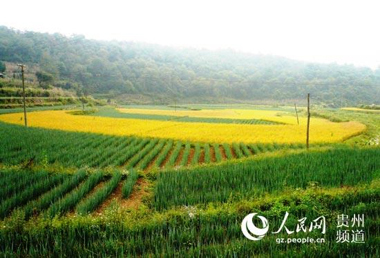 入秋以来,福泉市龙昌镇半边街205省道线公路边沿农民种植的洋葱与