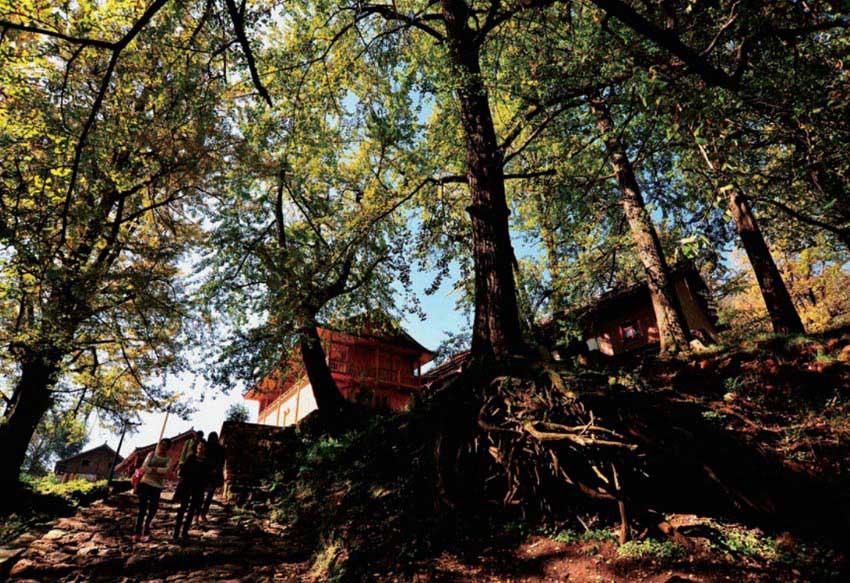 10月30日正值金秋时节,六盘水市盘县妥乐村古银杏树的树叶已经转黄,进入最佳观赏期。这样的金秋美景,处处散发出浓浓的秋意,吸引了众多游客前来观赏。据当地旅游部门统计,目前该村已发现的古银杏有1450多株,胸径在50至220厘米之间,树龄最长的已达1500多年。 妥乐村600多年前为彝族聚居地,因明初西南屯军而变为彝汉杂居,如今所住民族有彝族、白族、汉族,村寨总人口约1700人。妥乐人世代崇拜和爱树,在村民的呵护下,银杏树自由生长,姊妹树、夫妻树、瀑布树蔚为壮观。全村被古银杏树笼罩着,有古银杏村之称。(宁坚