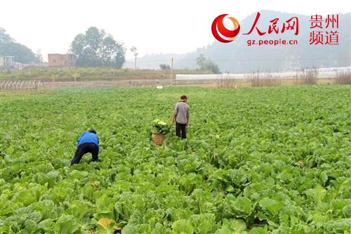 玉屏县农牧局指导新店乡洞坪村蔬菜生产