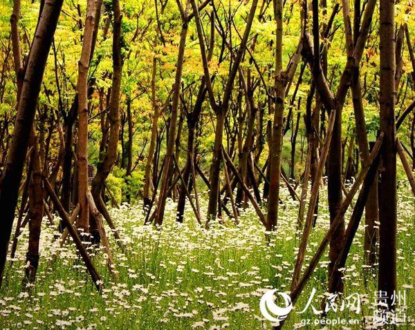 树 桦林 桦树 600_478