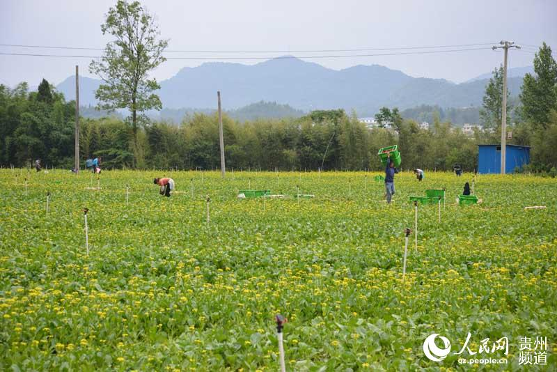 龙里:高效生态农业铺就高中小康农民路国发绿色图片