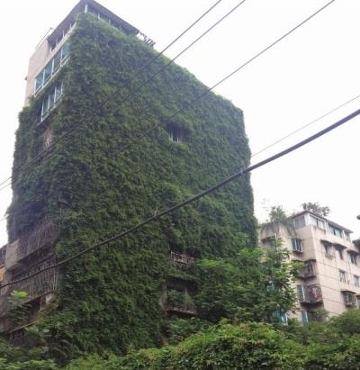 善于爬墙的爬山虎,一眼的绿色,能给建筑物增加一些文艺气质