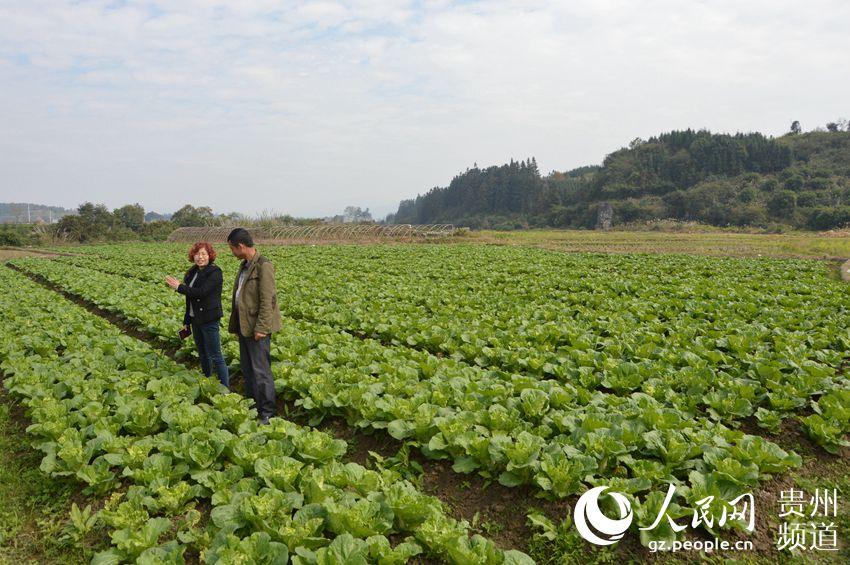入秋以来,锦屏县农业局把秋冬种农业生产作为发展农业和农村经济的重要举措来抓,按照稳定面积、增加产量、提高效益的总体要求,做到早安排、早落实、早部署。当前,蔬菜秋冬种工作实施进展顺利。 截止目前,全县完成秋冬种蔬菜种植面积4.86万亩,占任务5万亩的97.2%。在蔬菜示范点创办上,县农业局结合锦屏县蔬菜产业分布情况、各乡镇气候、土地零、整实际,以6个100万工程为抓手,作好规划布局。完成县级蔬菜示范点10个,示范面积930亩,其中,食用菌示范点2个,示范面积150亩;蔬菜种植技术综合示范点1个,示范面