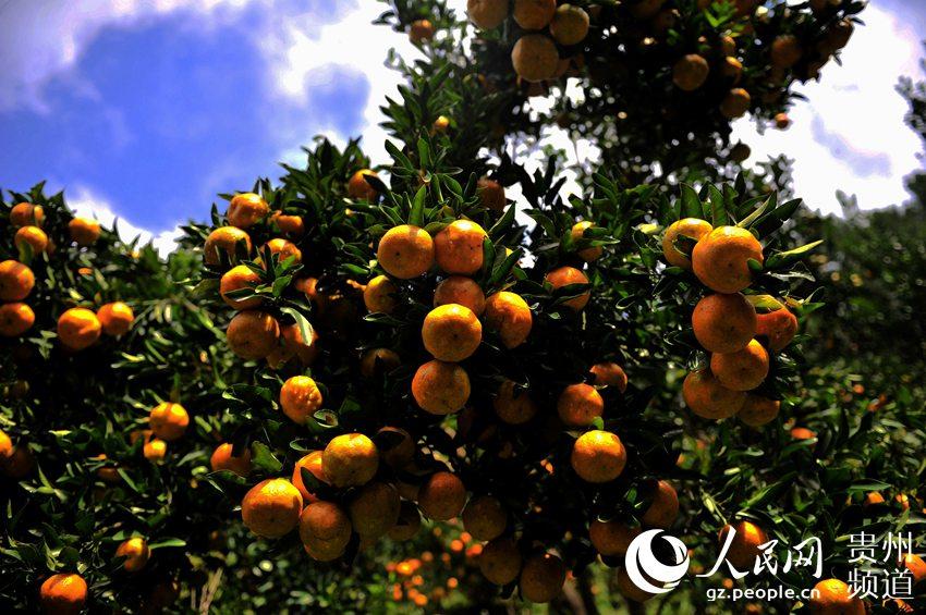 贵州从江:椪柑喜获大丰收 鼓了农民钱袋子