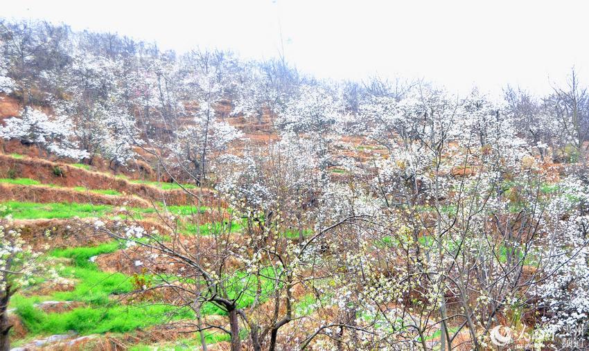 图为贵州威宁县哈喇河镇竞相开放的梨花.冶付红摄