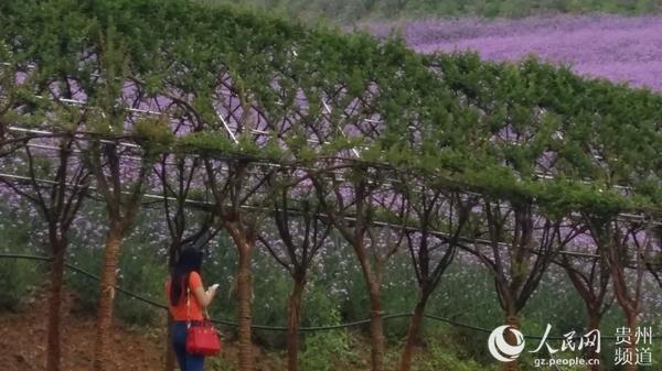 8万人端午节游娄山关万亩花海--贵州频道--人民网