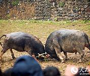 贵州:民俗斗牛乐迎冬至节