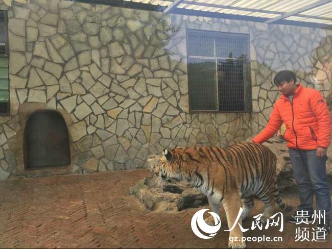 贵州森林野生动物园回应虐虎视频:为饲养员与图片