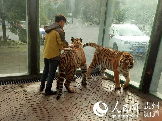 """官方回应""""贵阳野生动物园虐虎""""视频:为饲养员与幼虎"""