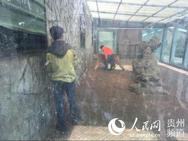 """贵州森林野生动物园回应""""虐虎""""视频:为饲养员与幼虎"""