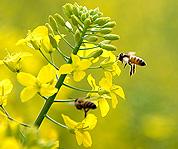 贵州从江:蜂舞花间