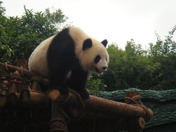 贵阳森林野生动物园位于修文县扎佐镇镜内的扎佐林场,是国家AAAA级旅游景区,距贵阳市区仅35公里,交通便捷。这里林海葱葱,绿波荡漾,是养心、润肺的天然氧吧。山川秀丽、钟灵毓秀的贵阳森林野生动物园占地约5000亩,园内有大象、小熊猫、华南虎、金丝猴、长颈鹿、斑马等100多种2000多头(只)动物。 园内可观赏各种野生动物,免费观看大象表演、猛兽表演、鸟艺表演及参观科普长廊,可体验人与动物和谐相处的盎然野趣。 园区内森林茂密、地形起伏有致,有小石林、溶洞、山峰等喀斯特自然景观,可尽情感受清新自然的生态环境,
