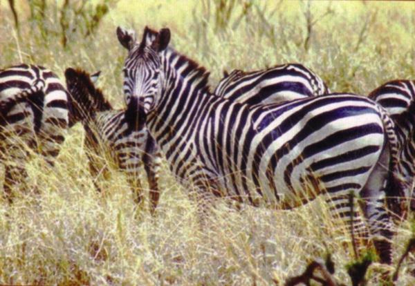 野生动物园占地约5000亩,园内有大象,小熊猫,华南虎,金丝猴,长颈鹿,斑