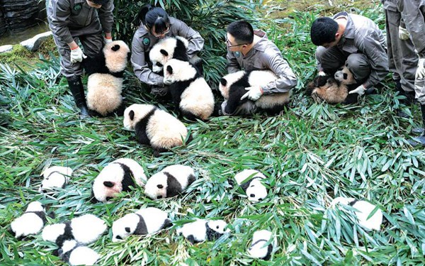 2017年中国已繁育大熊猫幼仔42只