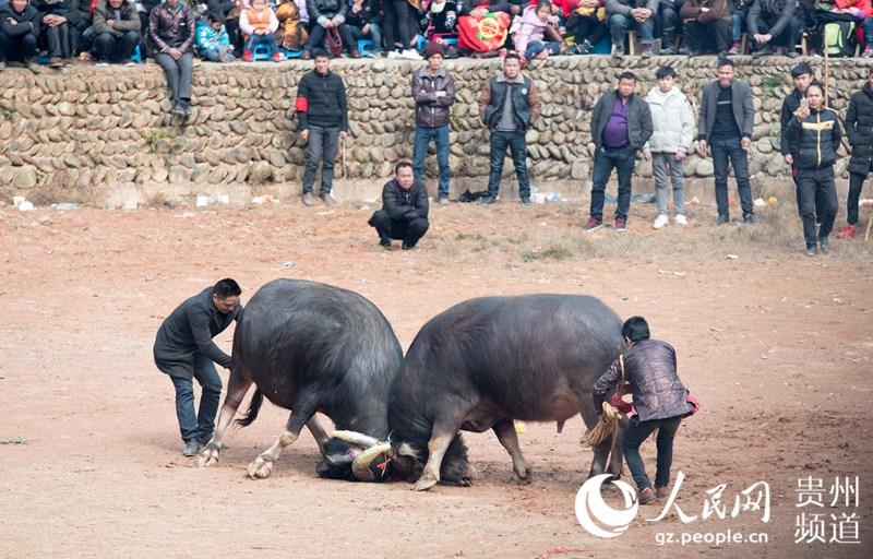 高清组图:贵州从江斗牛迎新春
