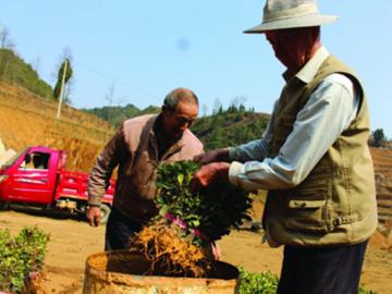 百花湖镇万亩茶园战春耕日前,在百花湖镇温水村,100余名村民正忙着栽种茶苗,一派生机勃勃的春耕景象……