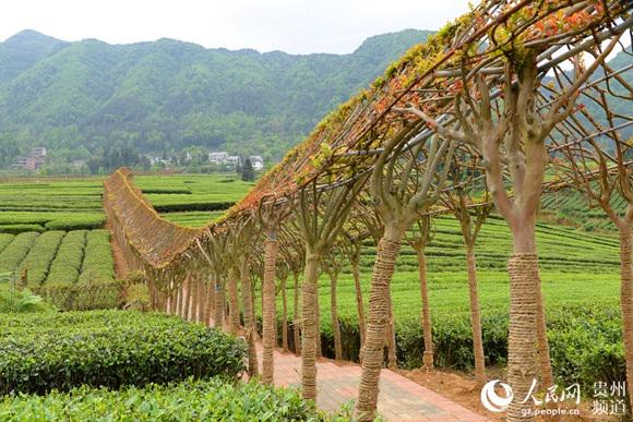 凤冈茶企茶农宣誓:捍卫茶叶质量安全