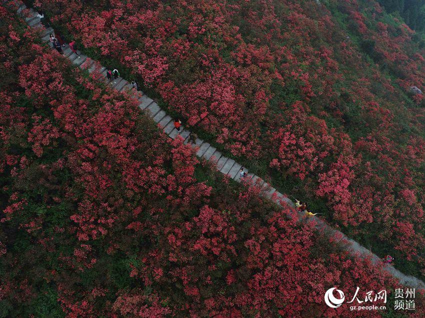 4月19日,在贵州省丹寨县龙泉山景区,游客在杜鹃花林中穿行.