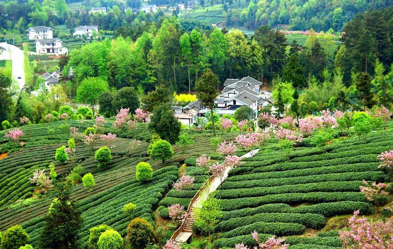贵州湄潭:茶叶值钱 风景更值钱(高清组图)