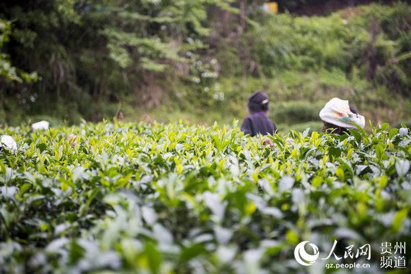 在贵州省黔东南苗族侗族自治州从江县丙妹镇长寨村,茶农在采茶.
