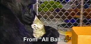 """懂手语养过猫的大猩猩""""可可""""去世 享年46岁(图)"""