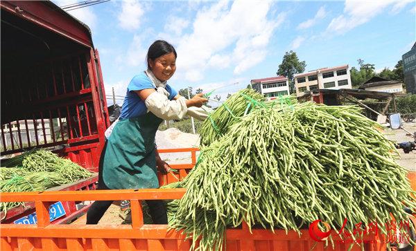 豇豆豐收農民笑(黃前生 攝)