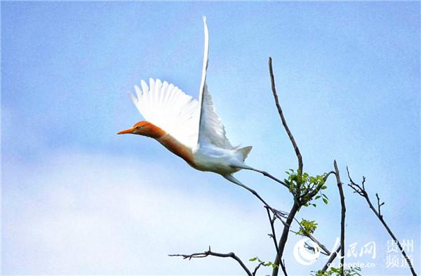 贵州凤冈:石梁河畔五代人的护鸟情(组图)