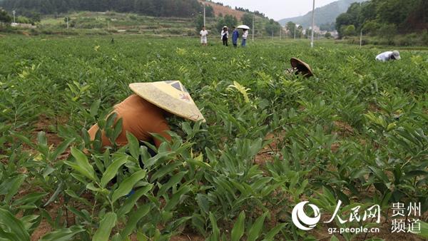 朱家场镇兴隆村村民正在对中药材玉竹除草。(胡攀学 摄)