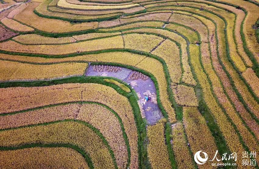 9月13日,村民在贵州省黔东南苗族侗族自治州丹寨县龙泉镇高要梯田收割水稻。(无人机拍摄)