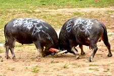 贵州从江:乡村斗牛迎接中国农民丰收节