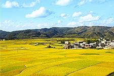 金秋稻谷黄 景色美如画
