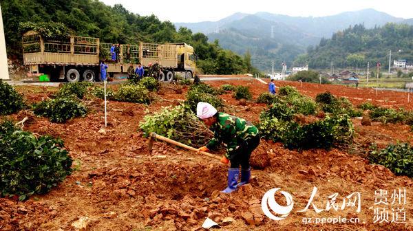 公司员工在种植油茶树。