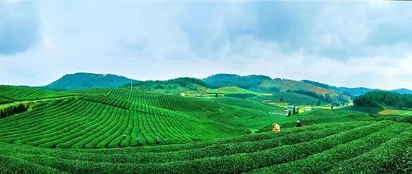 中国绿茶新金三角:贵州!凭什么?