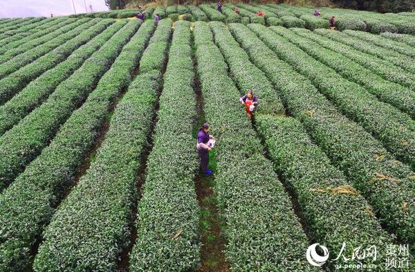 印江茶農采摘春茶。左禹華 攝