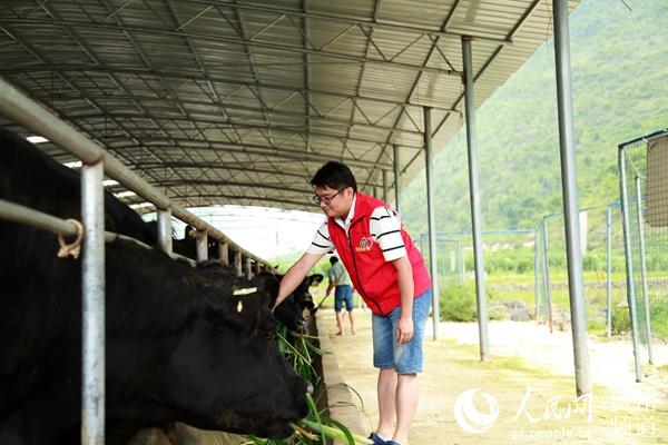 村支書石鵬正在喂牛。李宇 攝