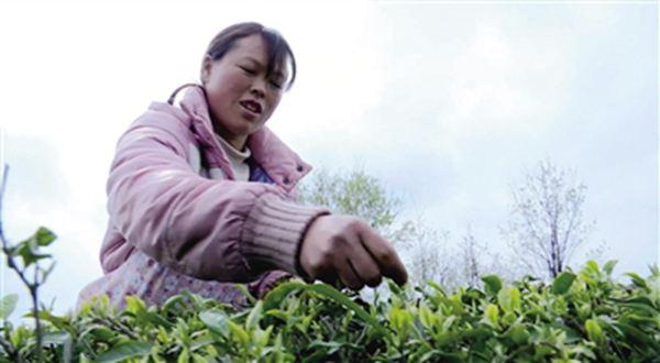 农户采茶忙