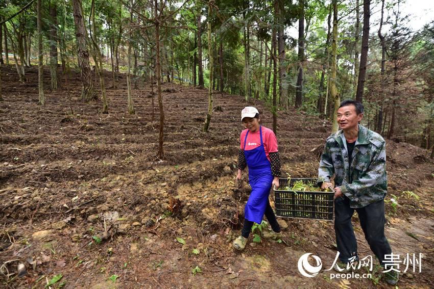 3月27日,在贵州省黔东南苗族侗族自治州丹寨县排调镇岔河村,村民在搬运黄精种苗。