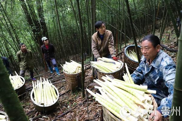 通过荒山退耕还林、营造方竹等生态保护修复项目,老百姓依靠方竹产业致富。图为笋农采收方竹笋。张维 摄