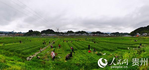 贵州汇川区因地制宜调整产业结构,松林镇上庄坝坝区种植蒜苗,解决了周边群众就业难题。汇川区融媒体中心供图